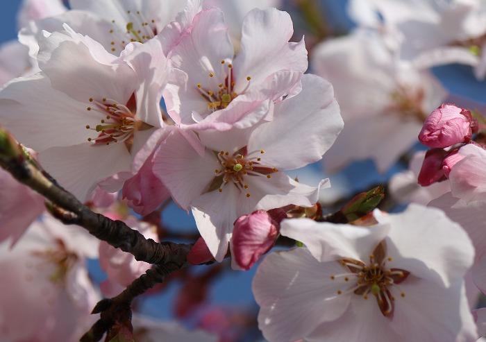 宗吉のしだれ桜花 29.4.4