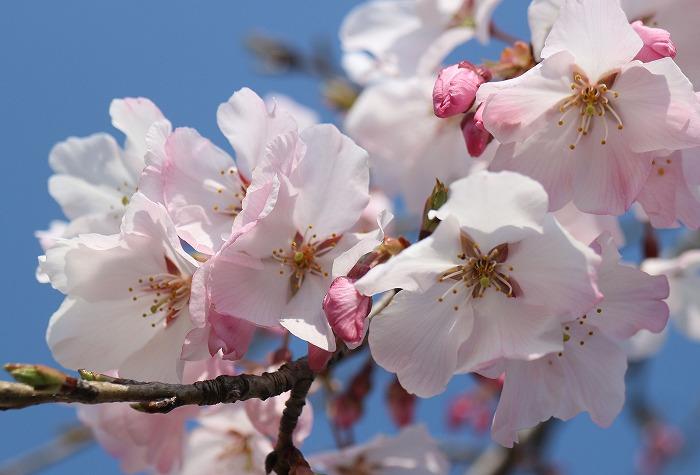 宗吉瓦窯跡公園の桜 29.4.4