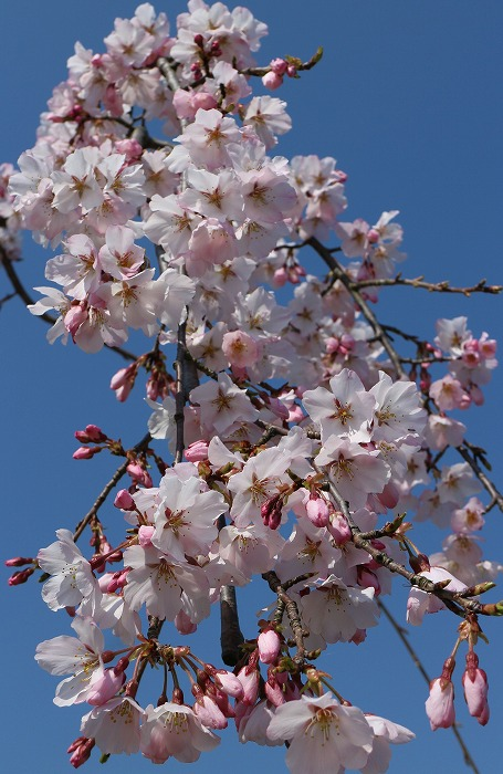 しだれの桜 咲き始め 29.4.4