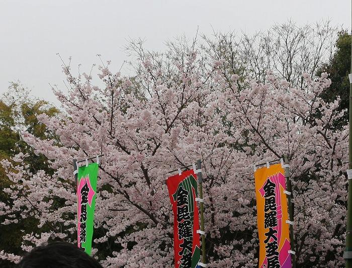 金毘羅歌舞伎初日 桜満開 29.4.