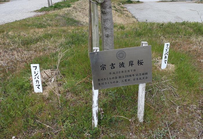 昨年末に植えた藤袴 29.3.7