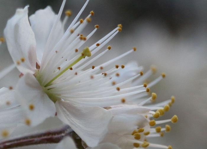 さくらんぼの雌蕊と雄蕊 29.3.16