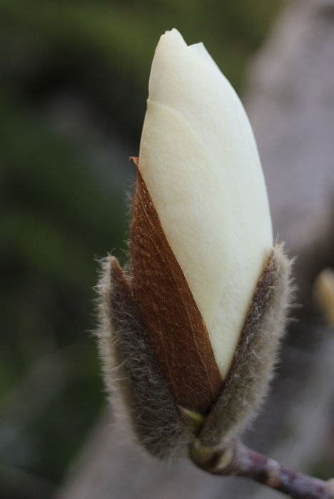 庭のモクレンの蕾 29.3.18