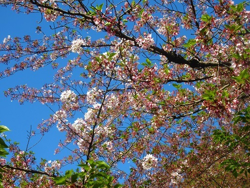 170416-202葉桜(S)