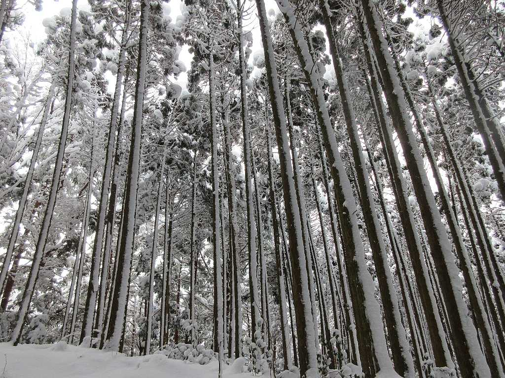 IMG8019JPG着雪の杉林