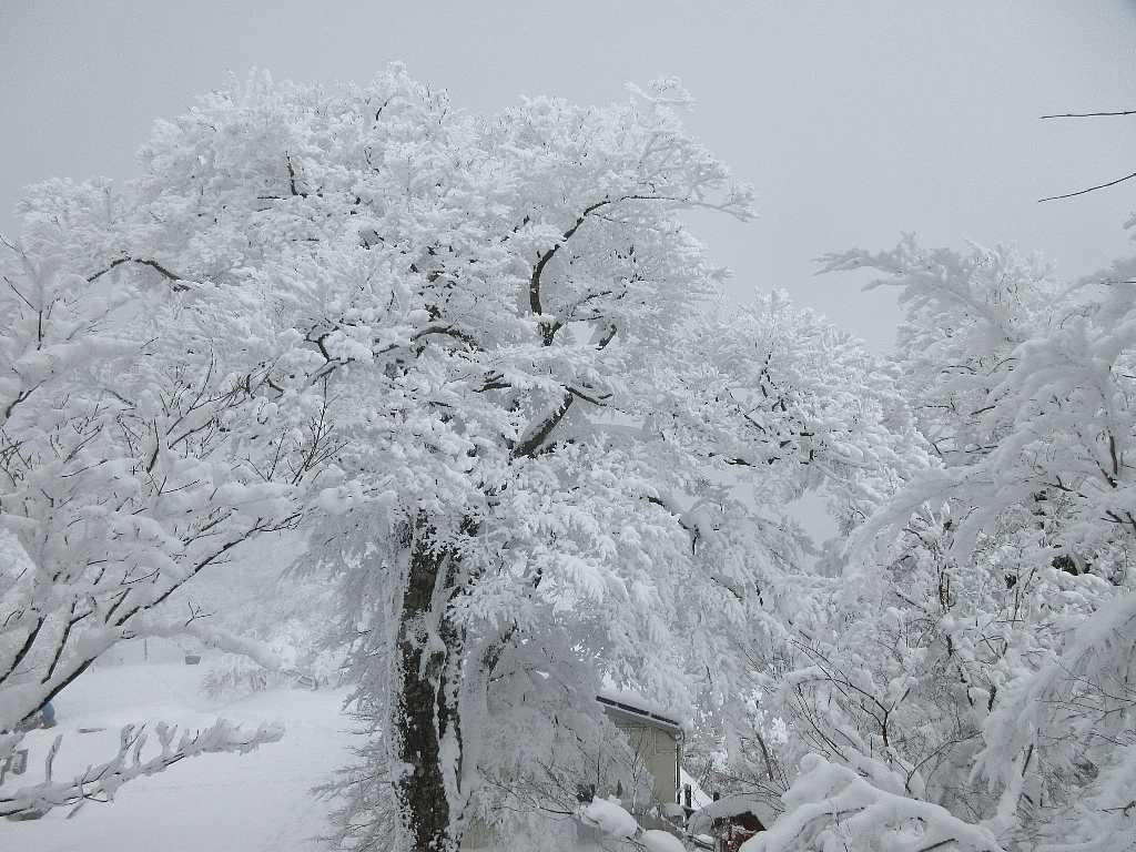 IMG8087JPG冠雪樹