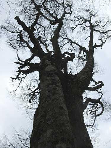 IMG8427JPGブナの大木