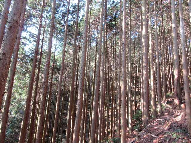 IMG8496JPG整列した檜林