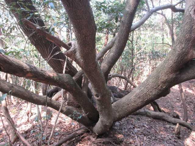 IMG8598JPG末広がりの木