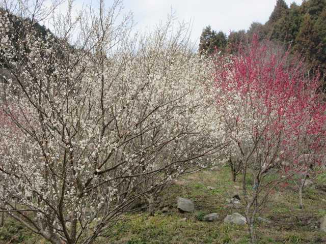IMG8648JPG長光円陣の滝桜公園の梅林
