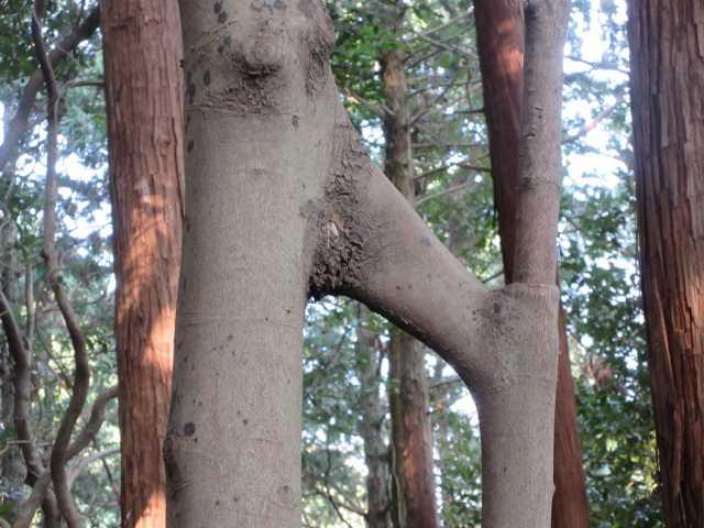 IMG9180JPG連理の樹とある