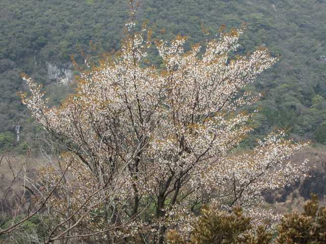IMG9593JPG山桜