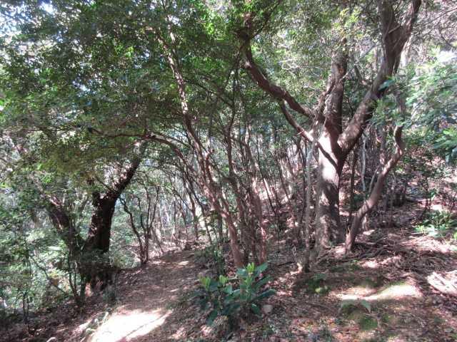 IMG9731JPG照葉樹林の開けた路