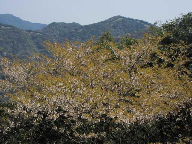 IMG9800JPG終盤の山桜