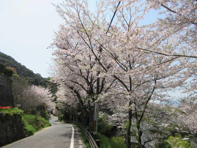 IMG9881PG周遊道路の桜