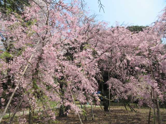 IMG9886JPG妙見宮のしだれ桜1