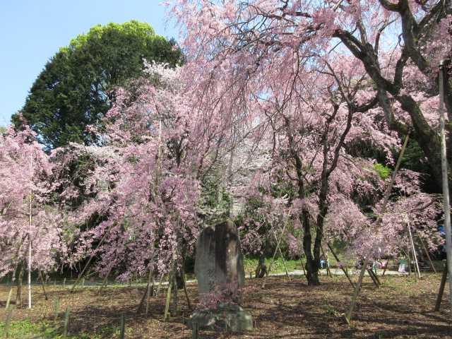 IMG9890JPGしだれ桜3