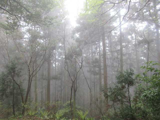 IMG0079JPG霧の杉林