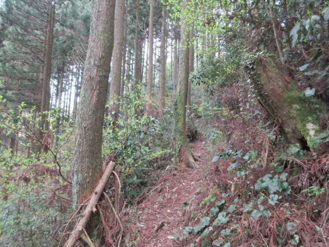 IMG0369JPG杉林を巻く
