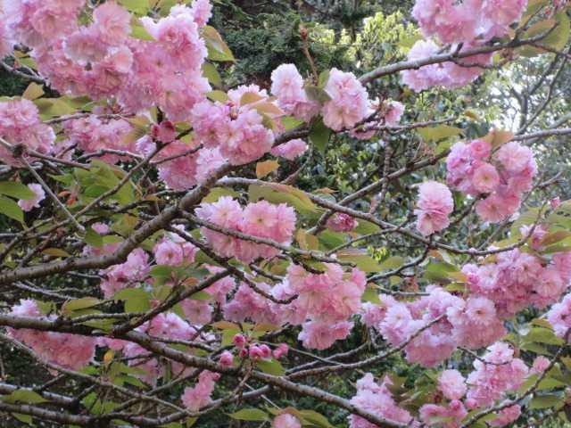 IMG0687JPGボタン桜