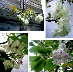 うこん桜の移ろい 写真サイン