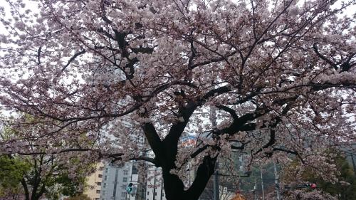2017新神戸桜 (1)_resized