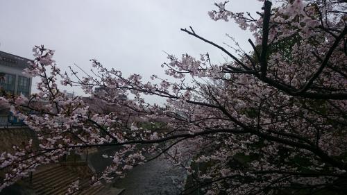 2017新神戸桜 (6)_resized