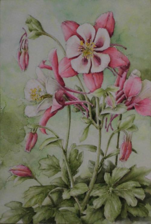 オダマキ 1704