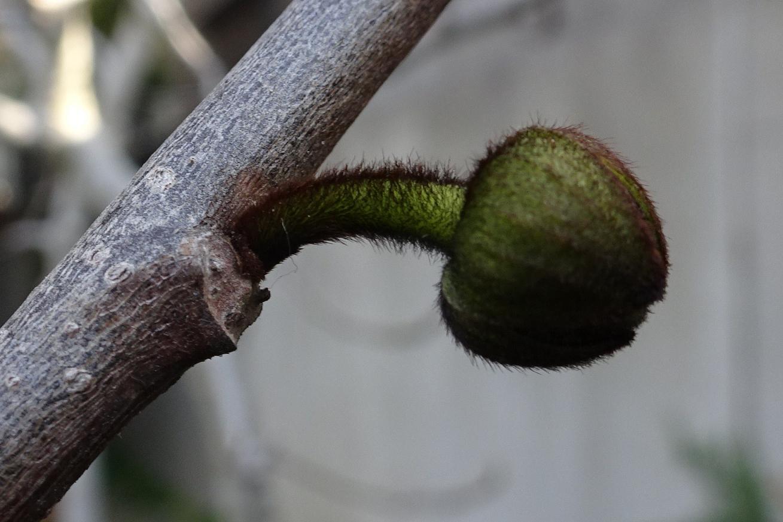 「ポポーの花」の画像検索結果