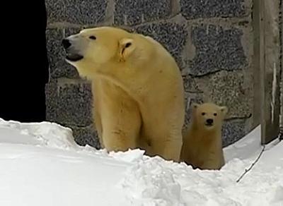 Jääkarhu Ranua フィンランド 白熊の赤ちゃん ラヌア動物園