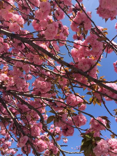 2017年八重桜