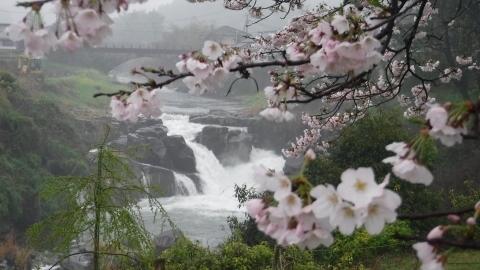 2017.4.9桜2