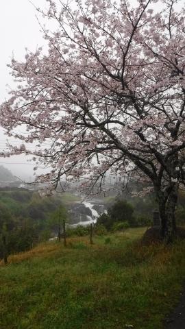 2017.4.9桜