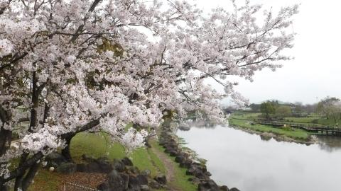 2017.4.9桜5