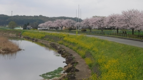 2017.4.9桜6