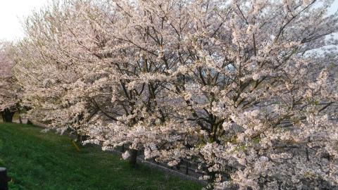 2017.4.12桜