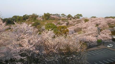 2017.4.12桜3