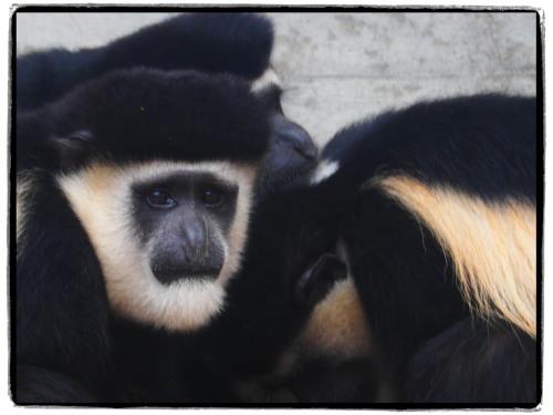 神戸王子動物園の類人猿