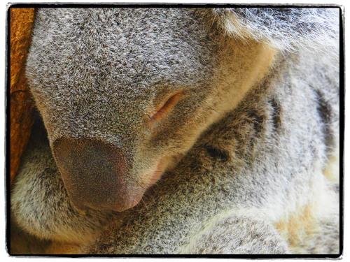 神戸王子動物園のコアラ