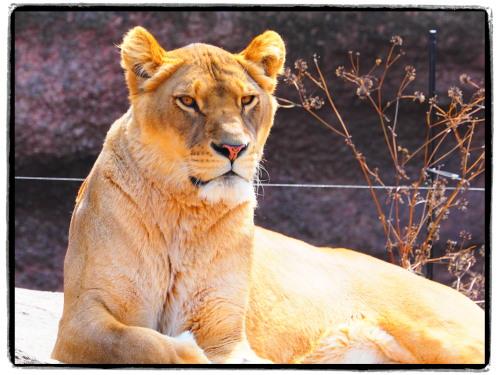 大阪天王寺動物園のメスライオン
