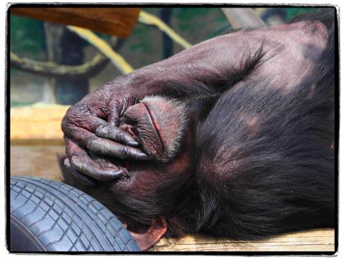 大阪天王寺動物園のチンパンジー