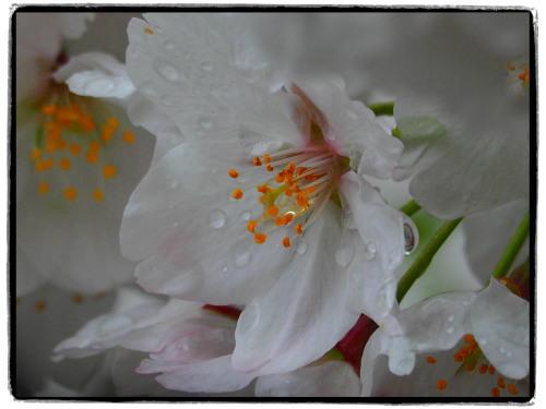 近所の桜でじゅうぶん…。