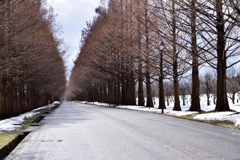 メタセコイア並木道路