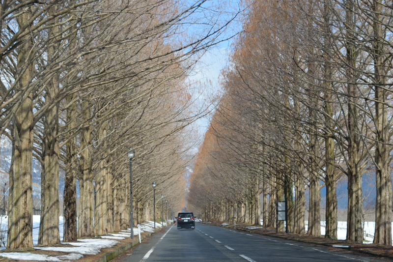 メタセコイア並木道路車