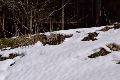 節分草群生地雪DSC_8441