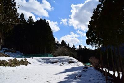 節分草群生地雪DSC_8444