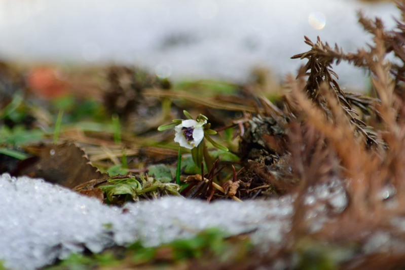 節分草自然雪DSC_8516
