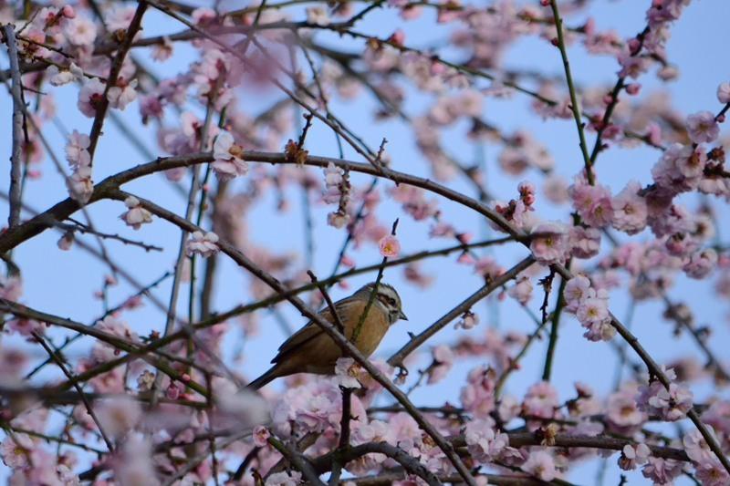 しだれ梅にとまるホオジロDSC_9665