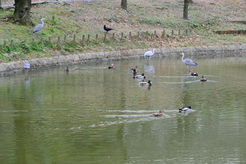 水鳥DSC_9735