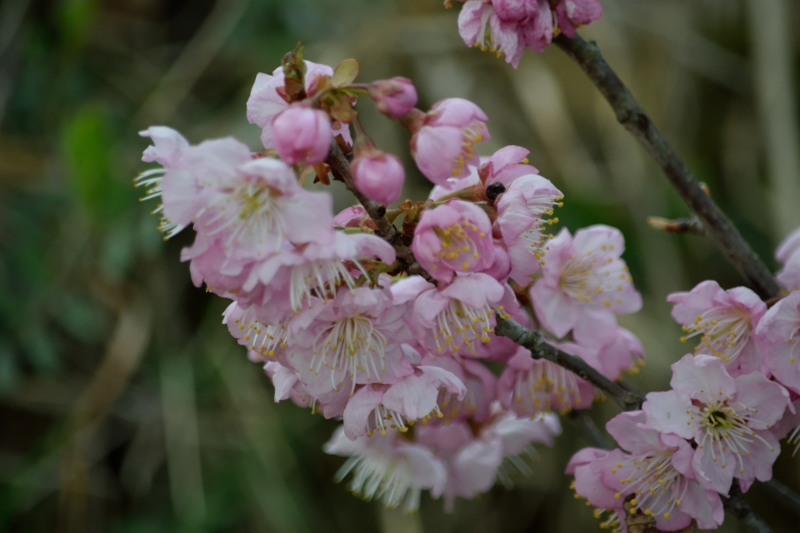 椿寒桜DSC_9555